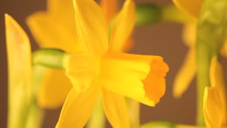 Slow Rotating Daffodil Profile