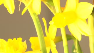 Slow Rotating Daffodils