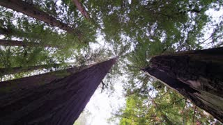 Slow Rotating Looking Up at Redwood Trees
