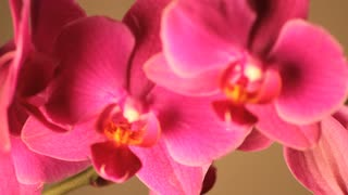 Slowly Rotating Pink Orchid Petals