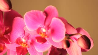 Slowly Rotating Pink Orchid
