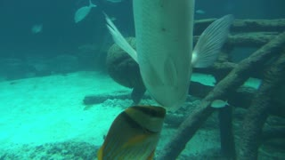 Small Tropical Fish Feeding Off Large Fish