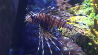 Small Tropical Lionfish Swimming