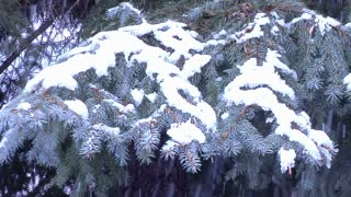 Snow Covering Pine Tree