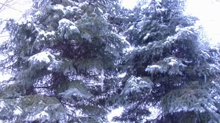 Snow Covering Pine Trees