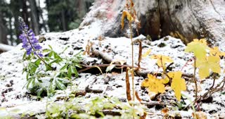 Snow falling in the woods on flowers and fall foliage