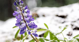 Snow falling on purple flower in the woods