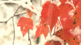 Snow Falls By Orange Leaves