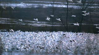 Snow Geese Flying Over Flock