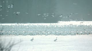 Snow Geese Taking Flight in Morning