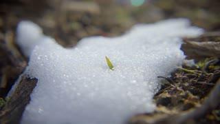 Snow Grass-panning