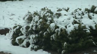 Snow Melting Off Evergreen Tree