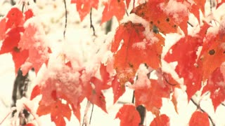 Snow Piles On Orange Leaves