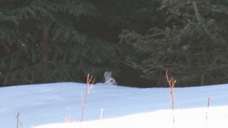 Snowshoe Hare in Snow Covered Forest