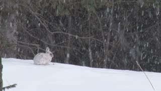 Snowshoe Hare Sitting in Snowstorm