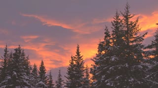 Snowy Evergreens At Sunset