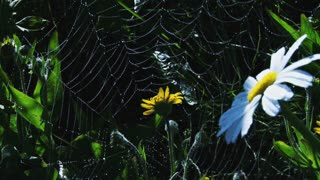 Spiderweb Among the Daisies