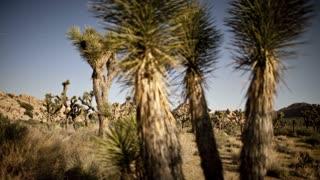 Spikey Desert Trees Panning Timelapse 3