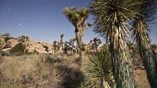 Spikey Desert Trees Panning Timelapse