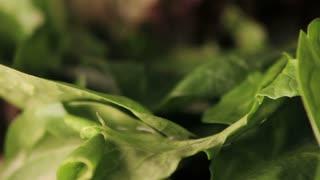 Spinning Lettuce Leaf