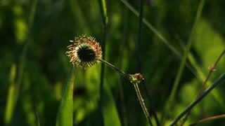 Spiny Seedpod in Lush Wildflower Meadow