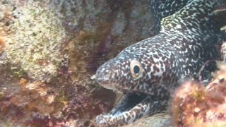 Spotted Eel in Coral Reef