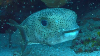 Spotted Fish in Reef