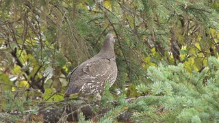 Spruce Grouse Alert in Tree