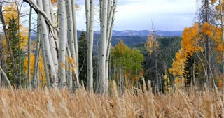 Static shot of fall foliage and Aspen trees in a Colorado field