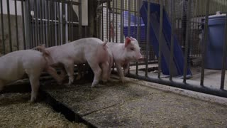 Steadicam Shot of Farm Animals - Pigs in a Pen