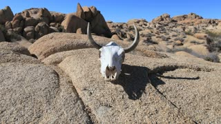 Steer Skull On Rocks