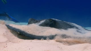 Stingray Burying in the Sand