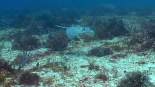Stingray Swimming Over Coral Reef