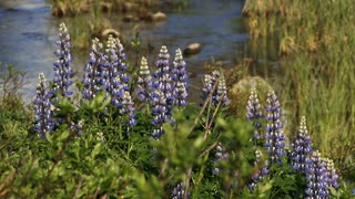 Summer Lupine Flowers and Flowing Brook