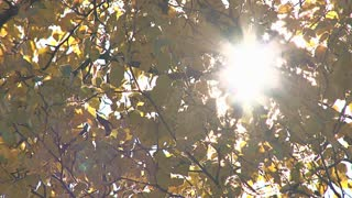 Sun Flare Through Autumn Birch Leaves
