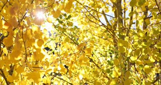 Sun flare through golden Aspen trees in autumn