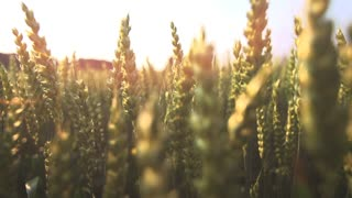 sun flare wheat cornfield 1080 slow motion
