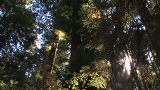 Sun Peaking Through Dense Redwood Leaves