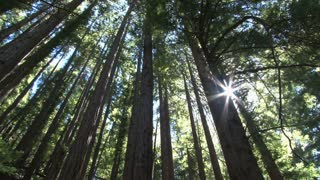 Sun Shining Through Dense Redwood Forest