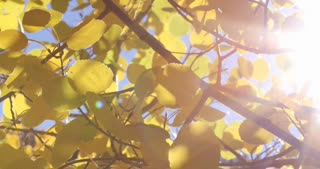Sun shining through fall foliage Aspen trees
