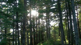 Sun Shining Through Tall Forest Trees