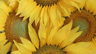 sunflowers - flower background