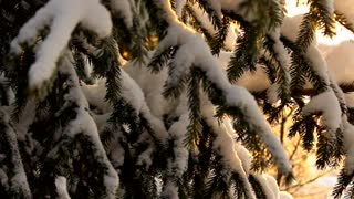 Sunlight in winter, spruce trees covered with snow, warm light