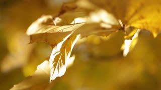 Sunlight on Yellow Leaves on Tree Branch