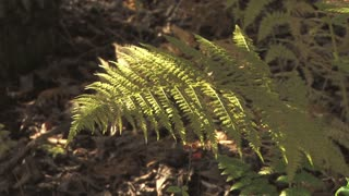Sunlight Shining on Fern