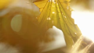 Sunlight Streaming Through Yellow Leaves on Tree Branch 2