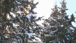 Sunlit Snowy Trees