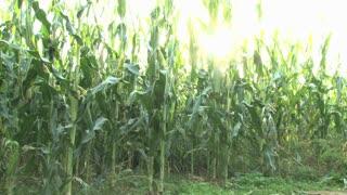 Sunny Corn Maze