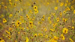 Sunny Sunflower Field