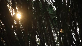 Sunrise Through Bamboo Forest